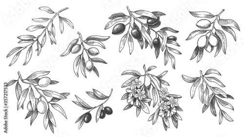 Engraved olive branch. Sketch branches with leaves and blossoms, hand drawn olives design element. Agricultural ripe plant or fruit isolated on white background vector illustration set. - 357217533