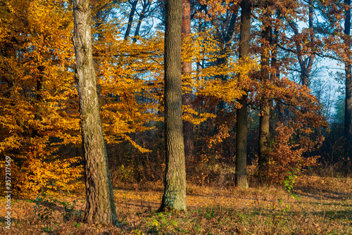 Autumn forest is brightly lit by the sun on a foggy background.