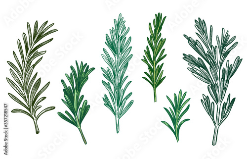 Fototapeta Sketch rosemary. Fresh rosemarys branches with leaves for seasoning, retro woodcut. Herb or plant for cooking or culinary. Vector isolated hand drawn vintage spice illustration set. obraz