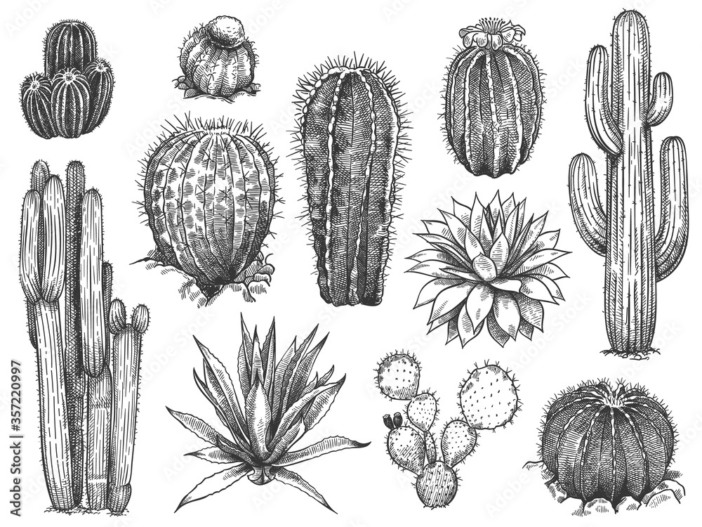 Fototapeta Sketch cactus. Hand drawn wild succulents, prickly desert plants, agave, saguaro and prickly pear blooming vintage black and white cactuses set on white background engraving vector illustration.