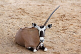 The male oryx antelope have one horn in sawanna garden