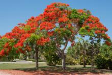 Royal Poinciana Tree At Sanibel Island, Florida