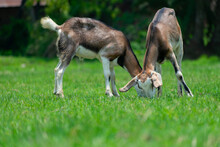 Two Twin Brown Goats Eating Gr...