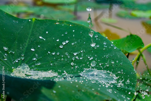 green lotus leaf with water drops on it