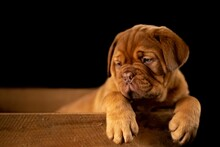 English Bulldog Puppy Sitting ...