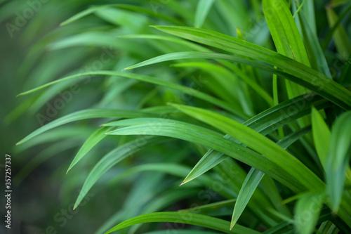 Fototapeta fragrant pandan leaves for natural food flavoring obraz