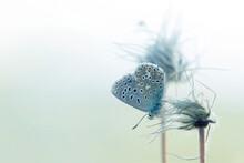 Gossamer-winged Butterfly Perc...