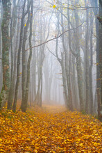 Bare Trees With Fallen Autumn Leaves In Forest During Foggy Weather
