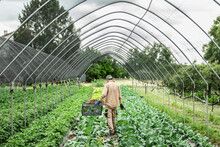 Organic Farmer Harvesting Kohl...