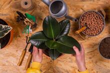 Hands Of Man Repotting Rubber Fig (Ficus Elastica) Plant