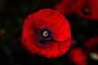 mak  czerwony kwiat