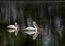 Grey Pelican Pair Swimming In ...