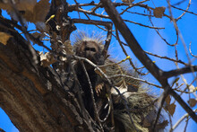Porcupine Sleeping In Tree