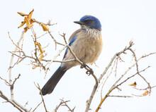 Blue Jay In A Branch