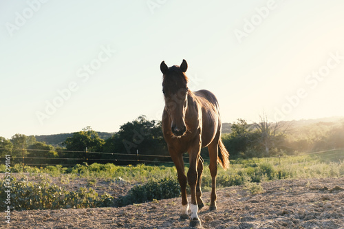 Young brown horse in rural Texas farm field at sunrise during summer season.