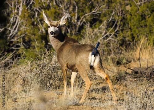 Obraz na plátne mule deer in the desert