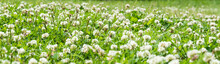 Clover Field. White Flowering ...