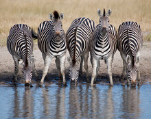 Five Zebras In A Row At Wateri...
