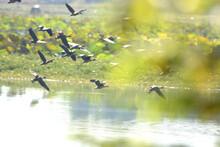 Flock Lesser Whistling Duck  I...