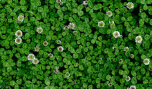 A Patch Of Clover Spotted With...