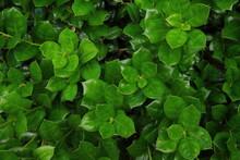 密集した濃い緑の葉