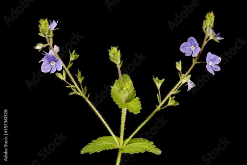 Fototapety, obrazy: Germander Speedwell (Veronica chamaedrys). Inflorescence Closeup
