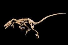 Dinosaur Skeleton With Black Background, Dead In Combat! Velociraptor Mongoliensis