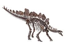 Stegosaurus Stenops Dinosaur Skeleton With White Background