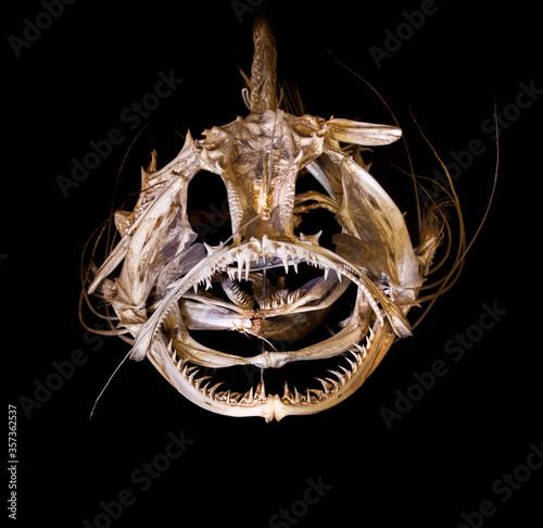 Fotografie, Obraz Monkfish skeleton bones skeleton with black background