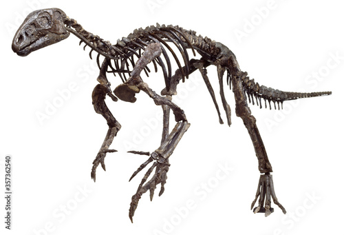 Fototapeta Hypsilophodon foxii  Dinosaur skeleton with white background