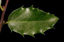 Holly (Ilex Aquifolium). Leaf ...