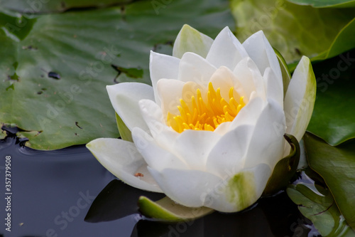 Fototapeta Tropical beautiful water lily in full blow on a tranquil water surface with clear and meditative reflection shows zen meditation and buddhism in consistence with nature, body and soul in modern times obraz na płótnie