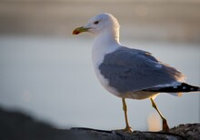 Selective Focus Of A Seagull S...