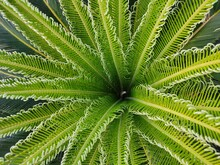 Phoenix Roebelenii (Pygmy Date Palm)  Plant Leaves | Green Leaves|