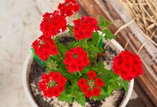 Red Geranium In Flower Pot.