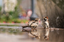 Two Cute Wet Sparrows Bathe In...