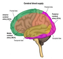 The Vascular Distrubutions Of Human's Brain Along The Different Cerebral Arteries.