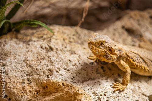 Obraz na plátně Texas horned lizard