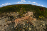 Starfish crawl on the shallow seafloor of Pleasant Bay, Cape Cod, Massachusetts. A wasting disease related to climate change has been killing sea stars on the west and east coast for several years.