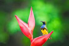 The Olive-backed Sunbird (Cinn...