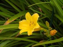 Yellow Daylily Flowering In A Garden, Variety Hemerocallis Stella De Oro