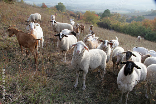 Canvastavla Sheep, Goat, Grazing animal, Geisa, Rhoen Biosphere Reserve, Thuringia, Germany,