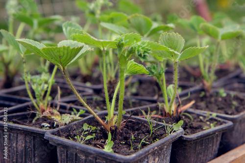 Obraz na plátně strawberry seedlings in pots growing in a garden nursery