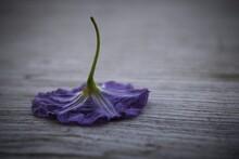 Purple Paraguay Nightshade Flo...