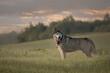 Siberian husky in the field