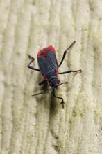 Jadera Bug (Jadera Haematoloma) Close-up.