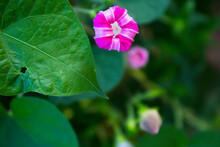 Mirabilis Jalapa Pink Flower Garden Plant