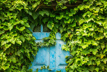 Old Blue Door Covered With Plants - Background Or Texture