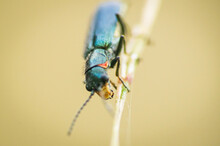 A Soft Winged Flower Beetle On...