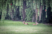 A Couple Of Fawns Relaxing Und...